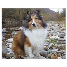 Sable Sheltie Hiker Poster