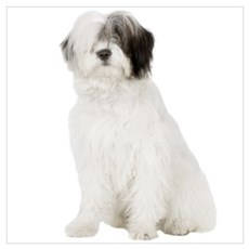 Old English Sheepdog Picture Poster