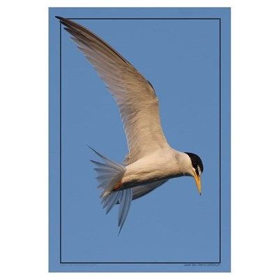Least Tern Poster