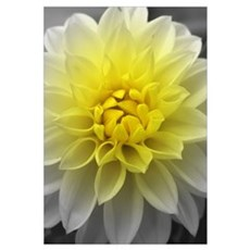 Yellow White Dahlia Canvas Art