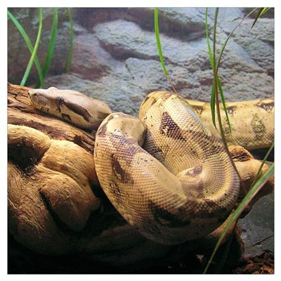 Red Tail Boa 001 Small Square Poster