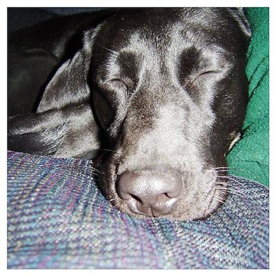 sleeping lab Poster