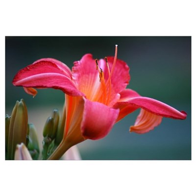 PINK LILY 0844 Poster