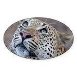 Leopard Portrait Sticker (Oval 10 pk)