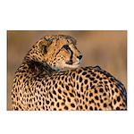 Cheetah Postcards (Package of 8)