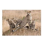 Cheetah Family Postcards (Package of 8)