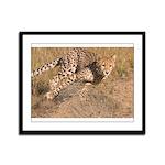 Cheetah On The Move Framed Panel Print