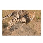 Cheetah On The Move Postcards (Package of 8)