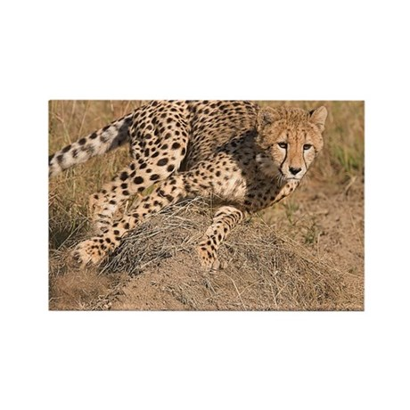Cheetah On The Move Rectangle Magnet (10 pack)