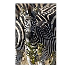 Zebras Postcards (Package of 8)