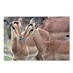 Impala Love Postcards (Package of 8)