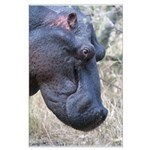 Hippo Profile Large Poster