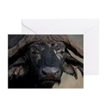 Buffalo Portrait Greeting Cards (Pk of 10)