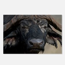 Buffalo Portrait Postcards (Package of 8)