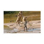 Lions Playing in Water 38.5 x 24.5 Wall Peel