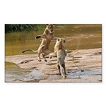 Lions Playing in Water Sticker (Rectangle)