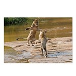 Lions Playing in Water Postcards (Package of 8)