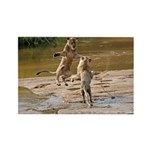Lions Playing in Water Rectangle Magnet