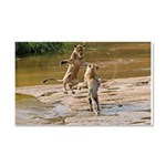 Lions Playing in Water Car Magnet 20 x 12