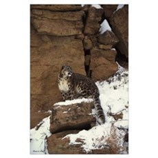 Snow Leopard Print Poster