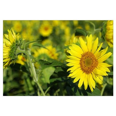 AUGUST SUNFLOWERS 0392 Framed Print