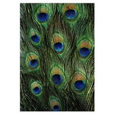 Peacock feathers on a