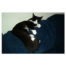 B&W Maine Coon Cat Draped Poster