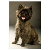 Cairn terrier Posters