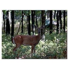 - Deer 20 Poster