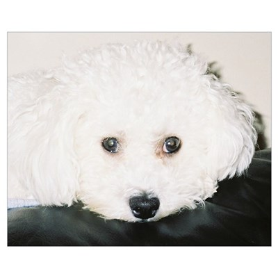 BICHON PUPPY FACE Poster