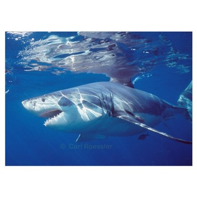Great white shark on attack Poster