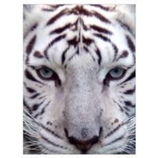 White Tiger 2 Framed Print