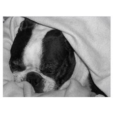 SLEEPING BOSTON TERRIER BEAUTY Poster