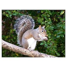 Squirrel on Limb Poster