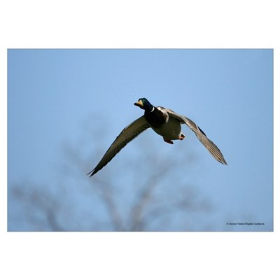 Mallard Duck Approaching Canvas Art