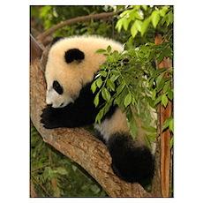 Giant Panda Baby 2 Poster