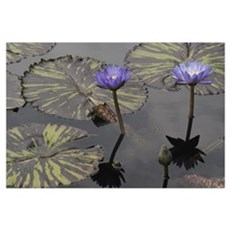 Water Lily 19 Poster