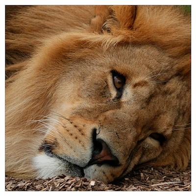 Beautiful Lion Poster