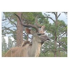 Greater Kudu series 2