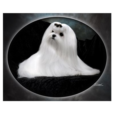Maltese Dog Canvas Art