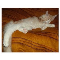 'Pink' Maine Coon Cat Spreadout Poster