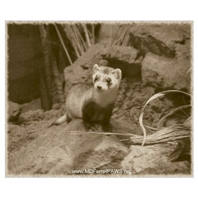 Black-Footed Ferret 16x19 inch Poster