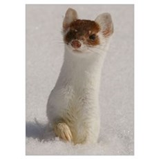 Ermine Poster