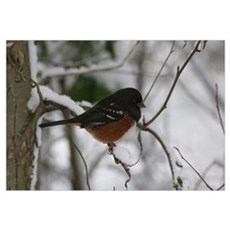 Spotted Towhee Canvas Art