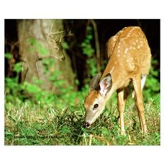 Deer photo DE002-2 Poster
