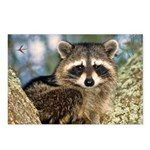 Raccoon Up a Tree Postcards (Package of 8)