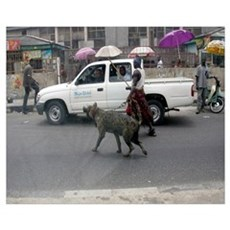 African Hyena on walk with his owner. Poster