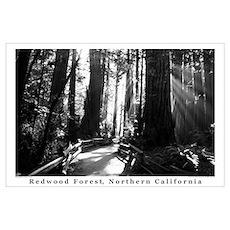 black + white california redwood trees s Poster