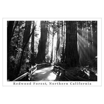 black + white california redwood trees s Framed Print