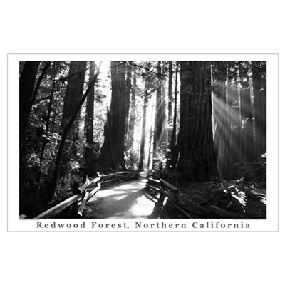 black + white california redwood trees s Poster